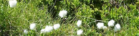 baumwollgras hintertux sommer